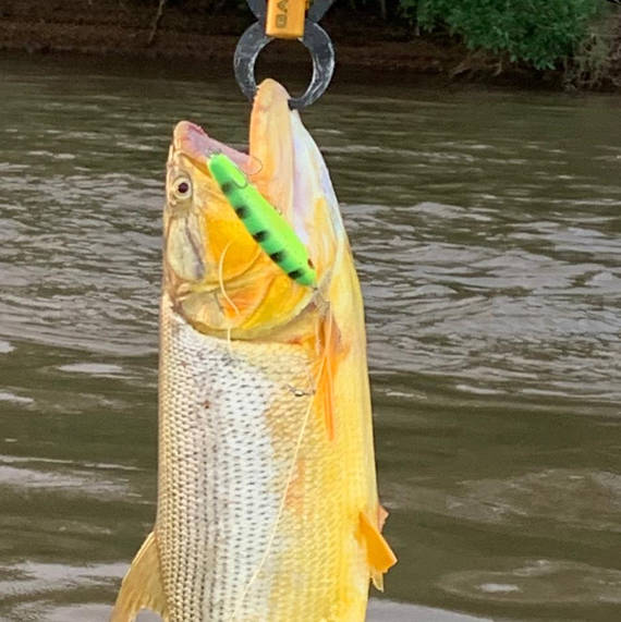 peixe dourado fisgado com isca artificial na pescaria no pantanal