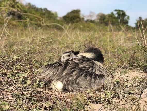 ema chocando encontrada na pescaria no pantanal