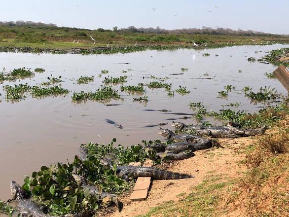 rio com jacarés caminho para pescaria no pantanal