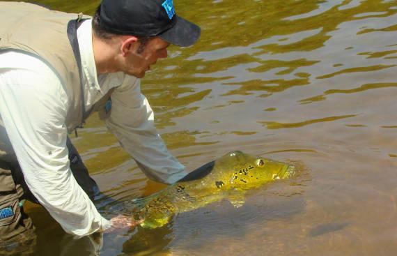 soltando peixe fisgado da pesca na Amazônia