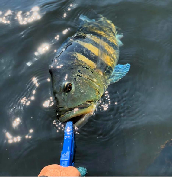 peixe tucunaré azul na pescaria no pantanal