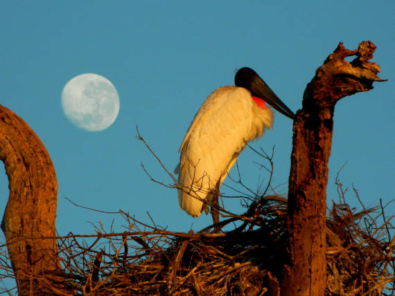 pássaro tuiuiú encontrado na pescaria no pantanal