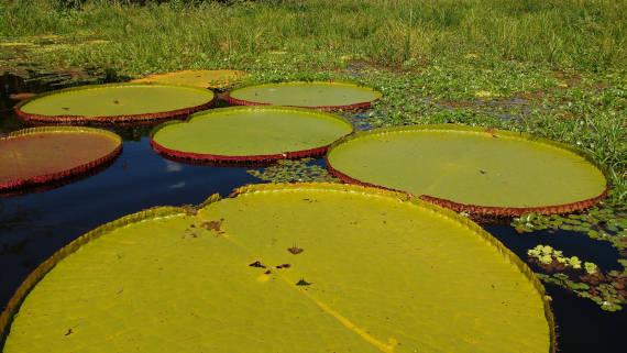 planta vitória regia da pesca na Amazônia